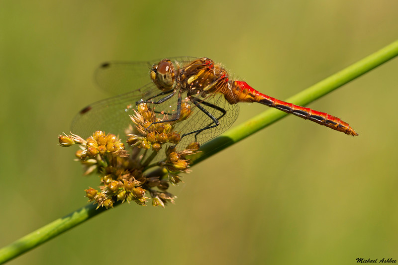 Striped Meadowhawk,Nanaimo,B.C.
