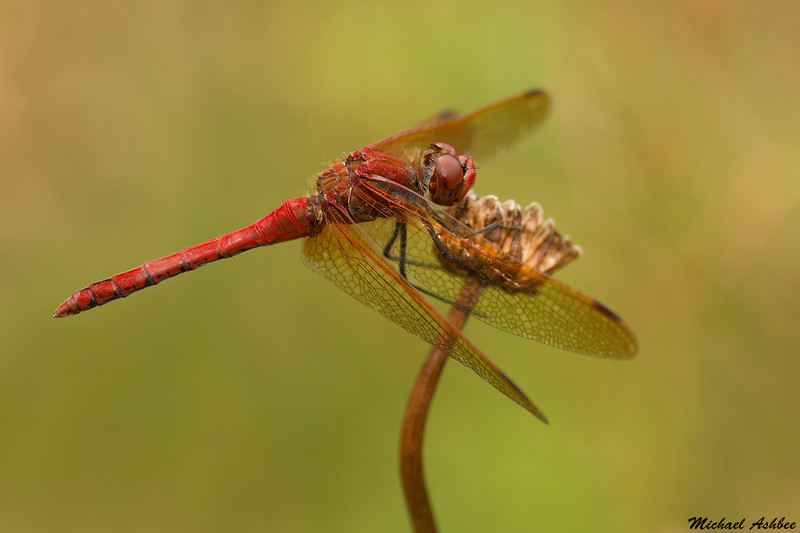 Red- Veined Meadowhawk,Victoria,B.C.
