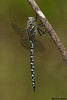 Variable Darner,Shawnigan Lake,B.C.