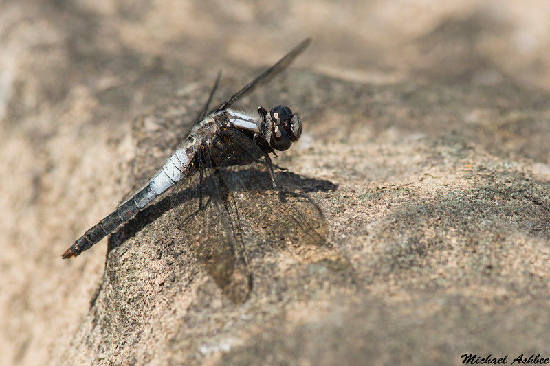 Chalk-fronted Corporal,Sooke,B.C.