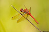 Red Veined Meadowhawk,Nanaimo,B.C.