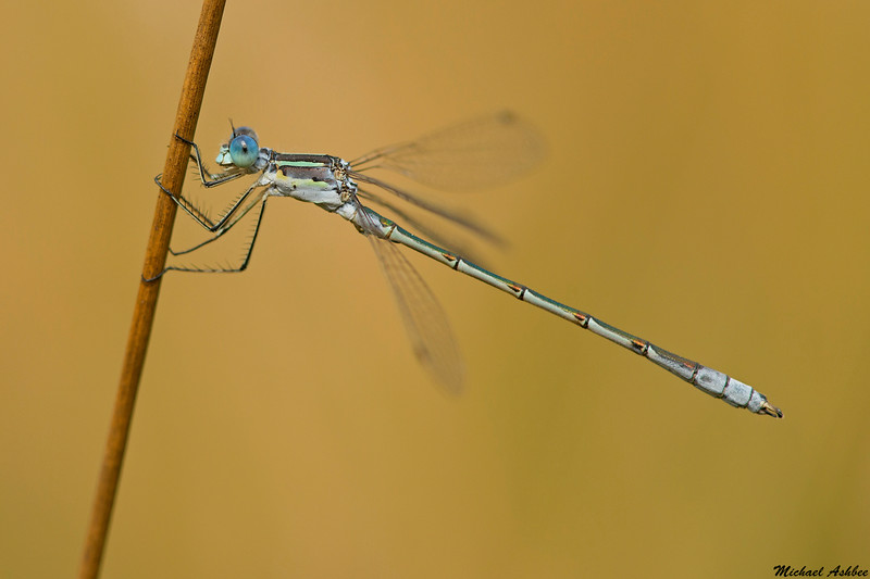 Northern Spreadwing,Victoria,B.C.
