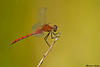 White-Faced Meadowhawk,Bowser,B.C.