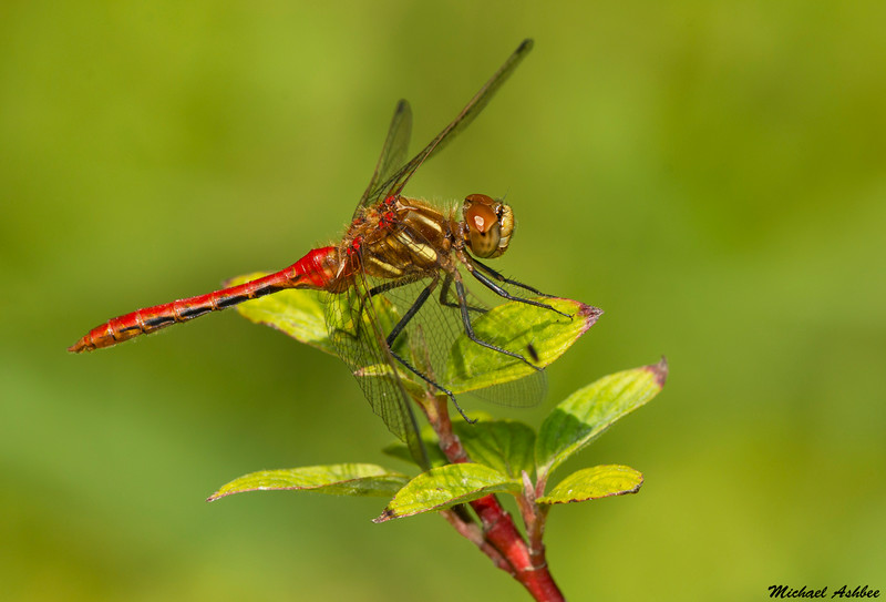Striped Meadowhawk,Victoria,B.C.