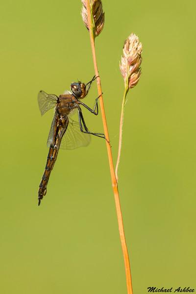 Spiny Baskettail(female),Victoria,B.C.