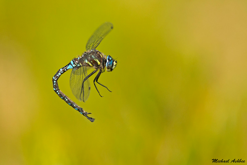 Paddle-tailed Darner,Bowser B.C.
