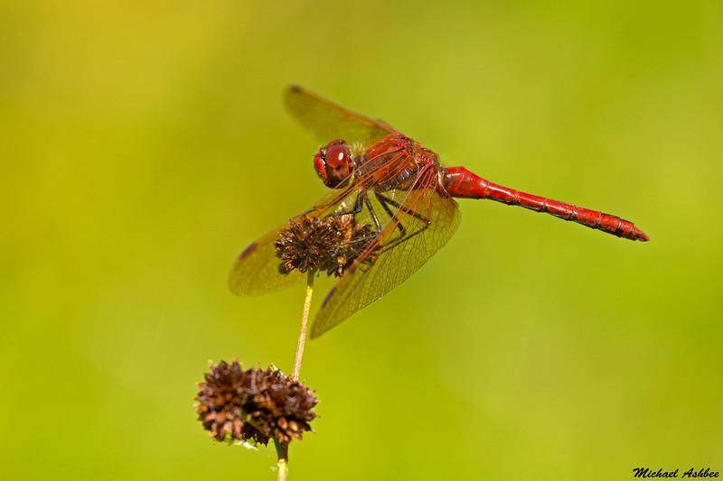 Red veined Meadowhawk,Nanaimo,B.C.