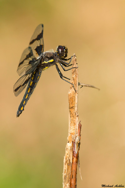 Eight Spotted Skimmer,Victoria,B.C.