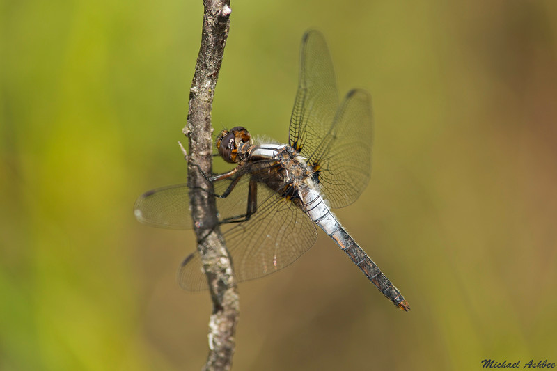Chalk fronted Corporal,Mission,B.C.
