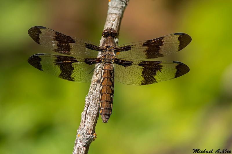 Common Whitetail(Immature),Shawnigan Lake,B.C.