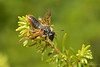 Sawfly,Cypress Mountain,B.C.
