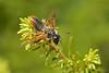 Sawfly,Cypress Mountain,B.C.