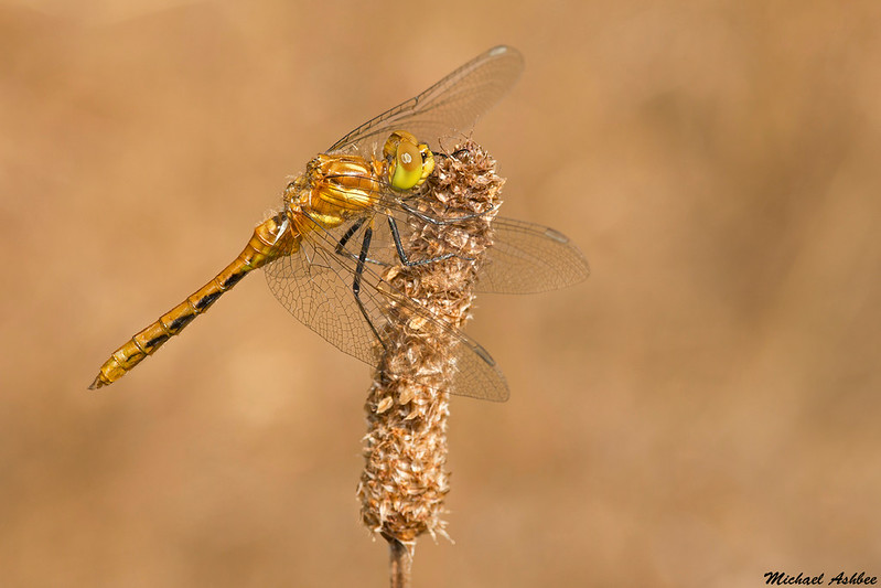 Striped Meadowhawk(immature),Victoria,B.C.