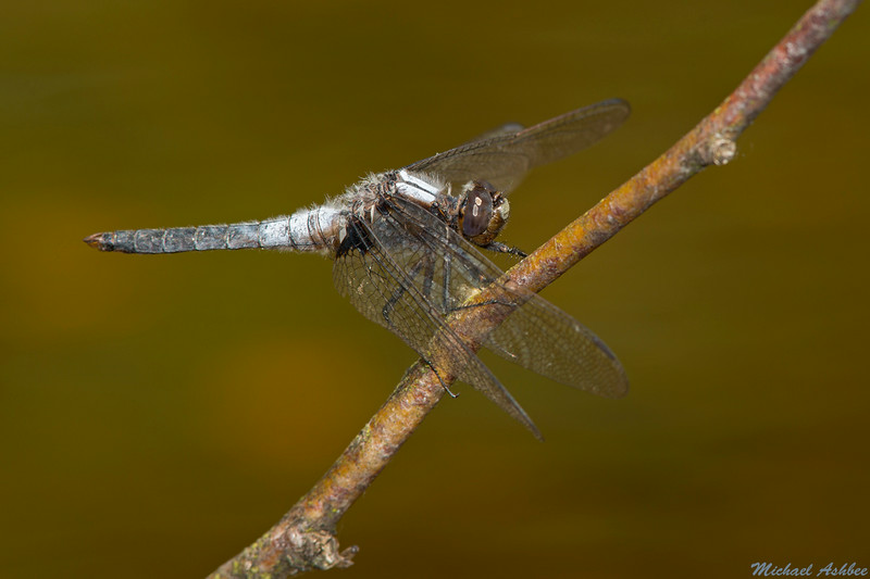 Chalk-fronted Corporal,Mission,B.C.