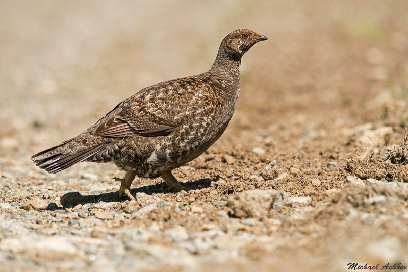 Sooty Grouse,Cypress P.P.,B.C.