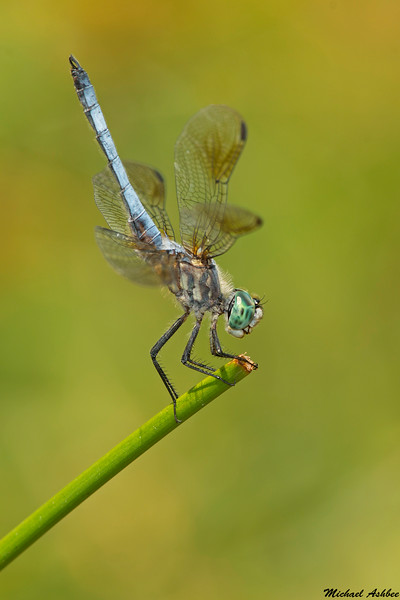 Blue Dasher,Victoria,B.C.