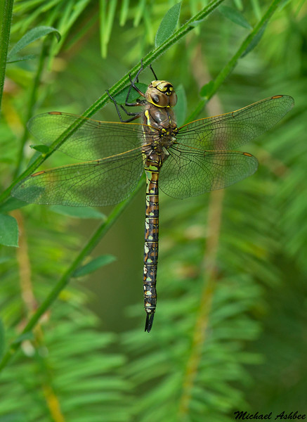 Variable Darner(Female),Shawnigan Lake,B.C.