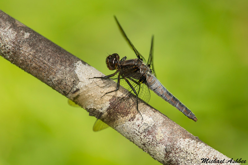 Chalk- fronted Corporal(female),Shawnigan lake,B.C.