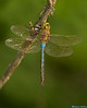 Common Green Darner,Victoria,B.C.