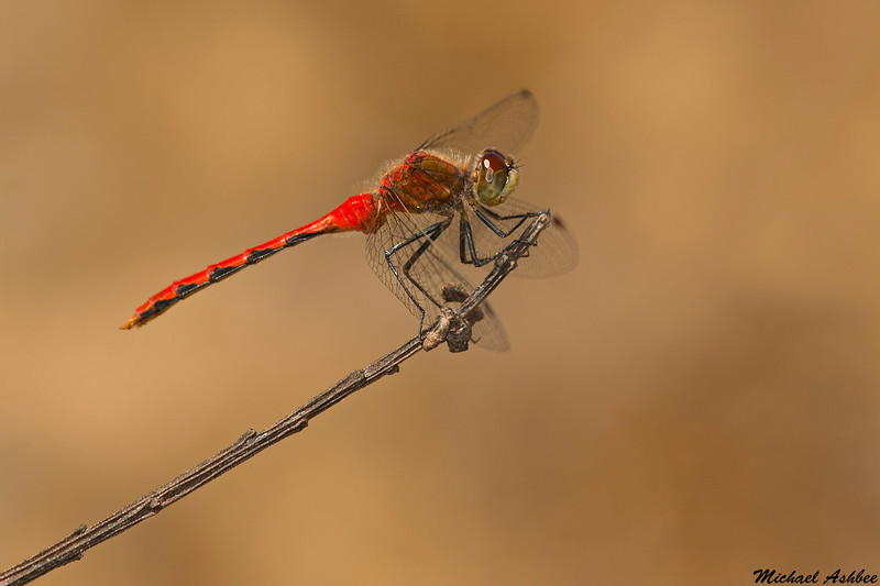 White-faced Meadowhawk,Victoria,B.C.