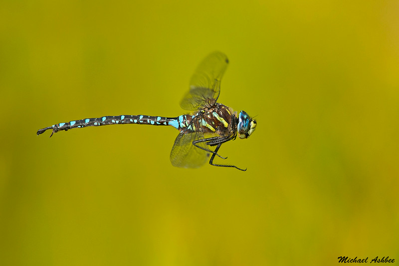 Paddle-tailed Darner,Bowser,B.C.