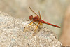 Red-veined Meadowhawk,Victoria,B.C.
