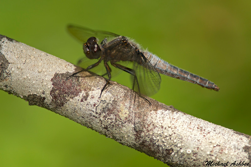 Chalk-fronted Corporal,Shawnigan Lake,B.C.