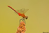 White-faced Meadowhawk,Qualicum beach,B.C.