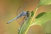Western Pondhawk with prey,Grant County,WA