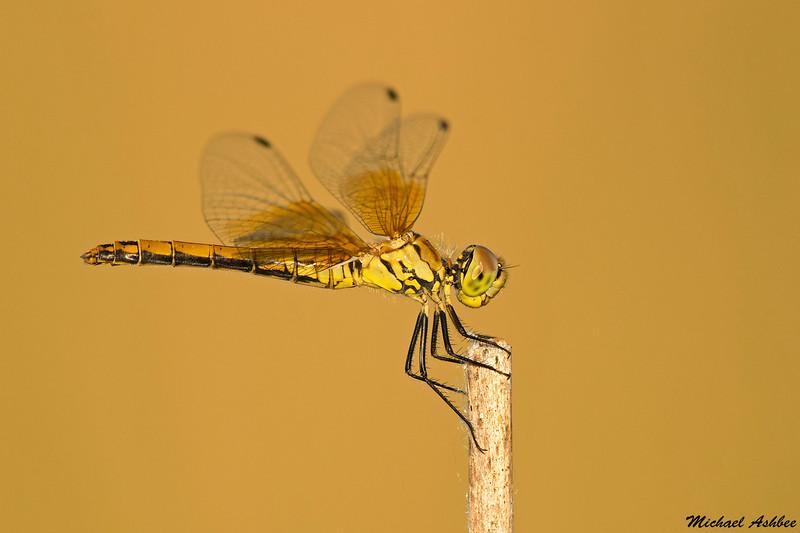 Band-winged Meadowhawk,Grant County,WA