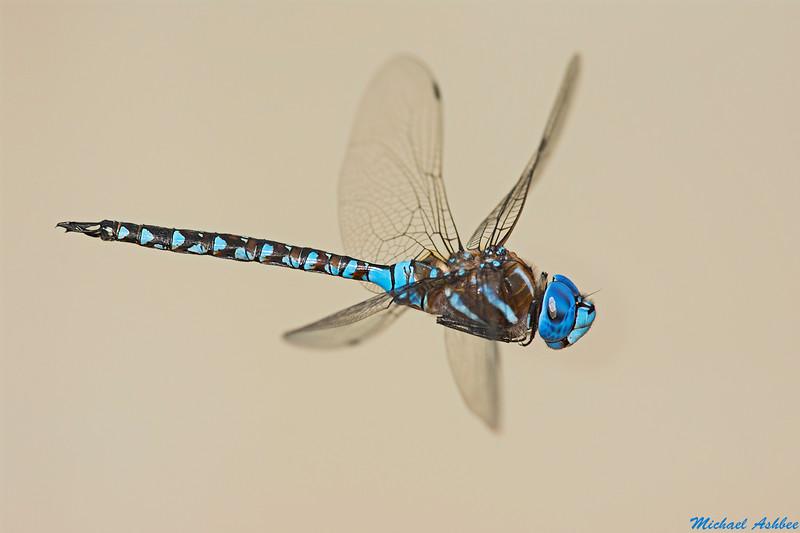 Blue-eyed Darner,Lake Cowichan,B.C.