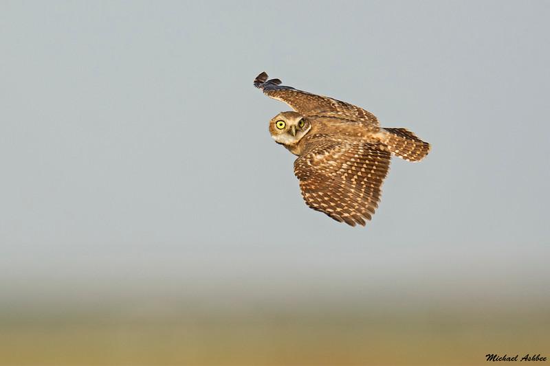 Burrowing Owl,Grant County,WA