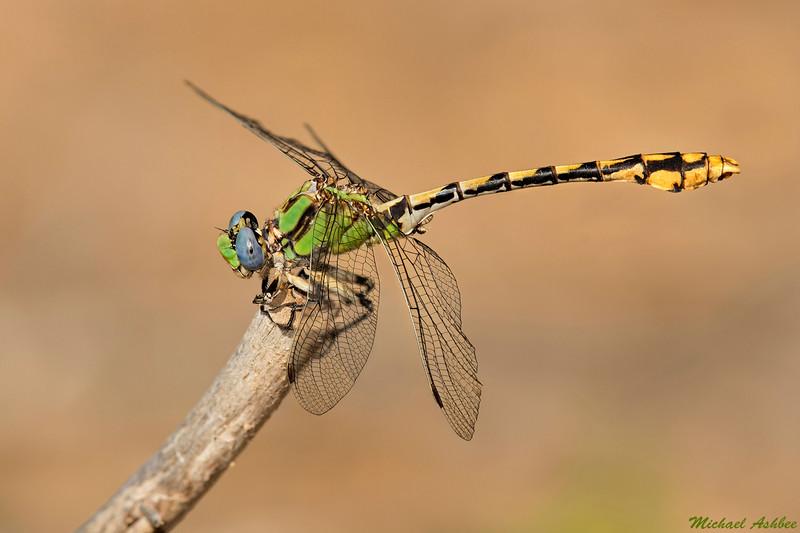 Sinuous Snaketail,Nanaimo,B.C.
