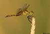 Band winged Meadowhawk,Grant County,WA