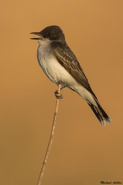 Eastern Kingbird,Grant County,WA