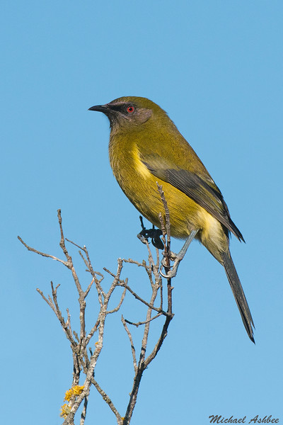 New Zealand Bellbird