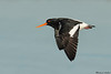 South Island Pied Oystercatcher