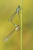 Pacific Forktails