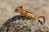 Golden mantled ground squirrel,Jasper,Alberta