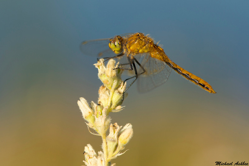 Meadowhawk species,Tunkwa lake,B.C.