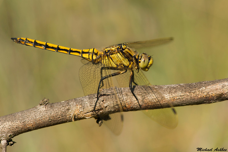 Black-tailed skimmer(immature),Camargue,France