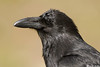 Common Raven,Jasper,Alberta