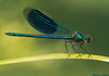 Banded Damselfly,Rhone river,France