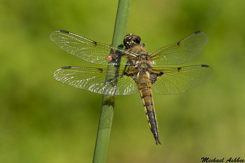 Four spotted skimmer,Victoria,B.C.