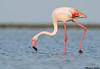 Greater Flamingo,St Marie de la mar,France