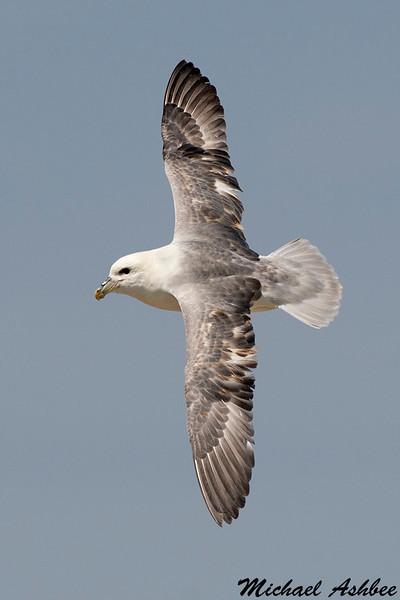 Northern Fulmar,Farne Island,England