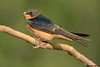 Barn Swallow,Brookes,Alberta