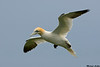 Northern Gannet,Bempton cliffs RSPB,England