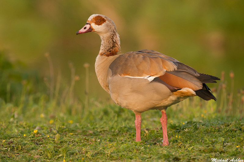 Egyptian Goose,Wells by the sea,England