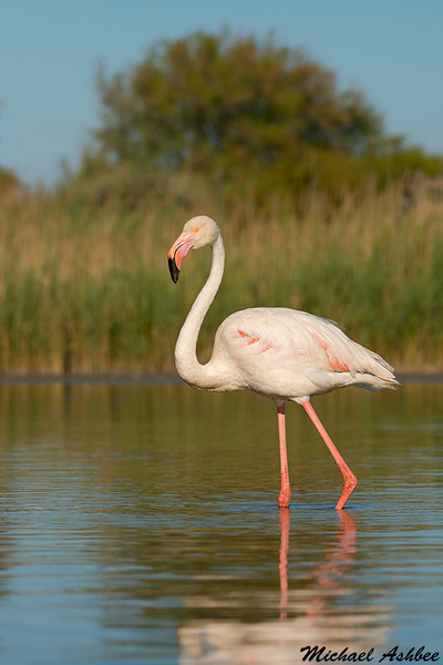Greater Flamingo,Camargue,France